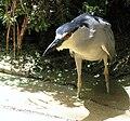 Black-capped Night Heron 3757.jpg