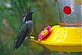 Black-chinned Hummingbird male (Archilochus alexandri ).jpg