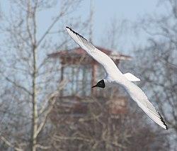 Black-headed gull Oulu 20100425.JPG