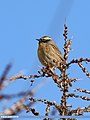 Black-throated Accentor (Prunella atrogularis) (41673582192).jpg