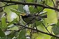Black-throated Green Warbler Smith Oaks High Island TX 2018-04-18 15-35-46 (41904112422).jpg