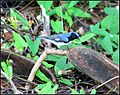 Black-throated blue warblers (7140432021).jpg