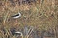 Black-winged stilt in its habitat.jpg