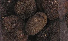 https://upload.wikimedia.org/wikipedia/commons/thumb/3/3d/Black.summer.truffle.arp_%28cropped%29.jpg/240px-Black.summer.truffle.arp_%28cropped%29.jpg