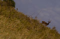 Black Buck at Jayamangala Conservation, Karnataka.jpg
