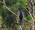 Black Cuckoo (Cuculus clamosus).jpg