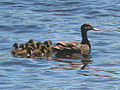 Black Duck female and ducklings.jpg