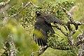 Black Eagle - nesting DSC5111.jpg