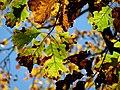 Black Oak (30784853441).jpg