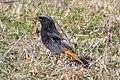 Black Redstart (Phoenicurus ochruros).jpg