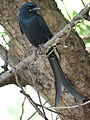 Black drongo in Perundurai.JPG