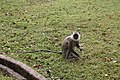 Black faced langur (7568293682).jpg