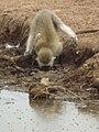Black faced vervet monkey Chlorocebus pygerythrus in Tanzania 3106 cropped Nevit.jpg