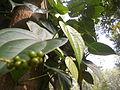 Black pepper in a close vision, Daringbari.JPG