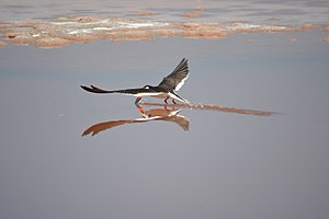 San Diego Bay National Wildlife Refuge - Image: Black skimmer (Rynchops niger) gracefully glides (6554870945)