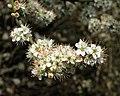 Blackthorn flowers, Preston Park - geograph.org.uk - 748305.jpg