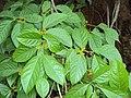 Blepharistemma serratum at Periya (4).jpg