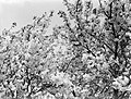 Bloeiende fruitboom in de Betuwe, Bestanddeelnr 189-1390.jpg