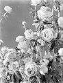 Bloemen met de naam Trollius (uit de Ranonkelfamilie), Bestanddeelnr 252-0520.jpg