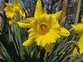 Blooming Daffodils.JPG