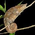 Blue-legged chameleon (Calumma crypticum) male Ranomafana.jpg