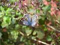 Blue Butterfly (4827318418).jpg