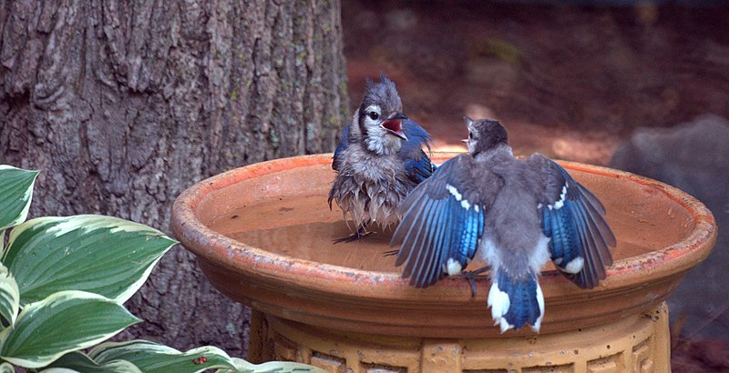 File:Blue Jays In Bird Bath (5922105425).jpg