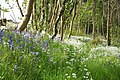 Bluebells and Ramsons at Coed Arthur - Llancarfan - geograph.org.uk - 1297560.jpg