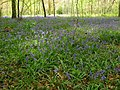 Bluebells in East Wood - geograph.org.uk - 1269047.jpg