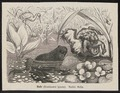 Bombinator igneus - 1700-1880 - Print - Iconographia Zoologica - Special Collections University of Amsterdam - UBA01 IZ11500255.tif