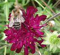 Bombus humilis - Flickr - gailhampshire.jpg