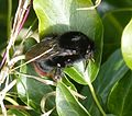 Bombus sp. Queen. (B. lapidarius^) - Flickr - gailhampshire.jpg