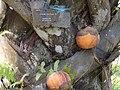 Borassus Aethiopum Fruit 02.jpg