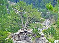 Bosnian Pine on Mount Olympus, on the way to the Zolotas refuge.jpg