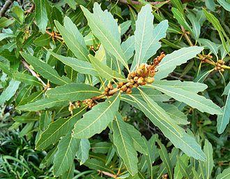 Brabejum - Image: Brabejum stellatifolium flower buds
