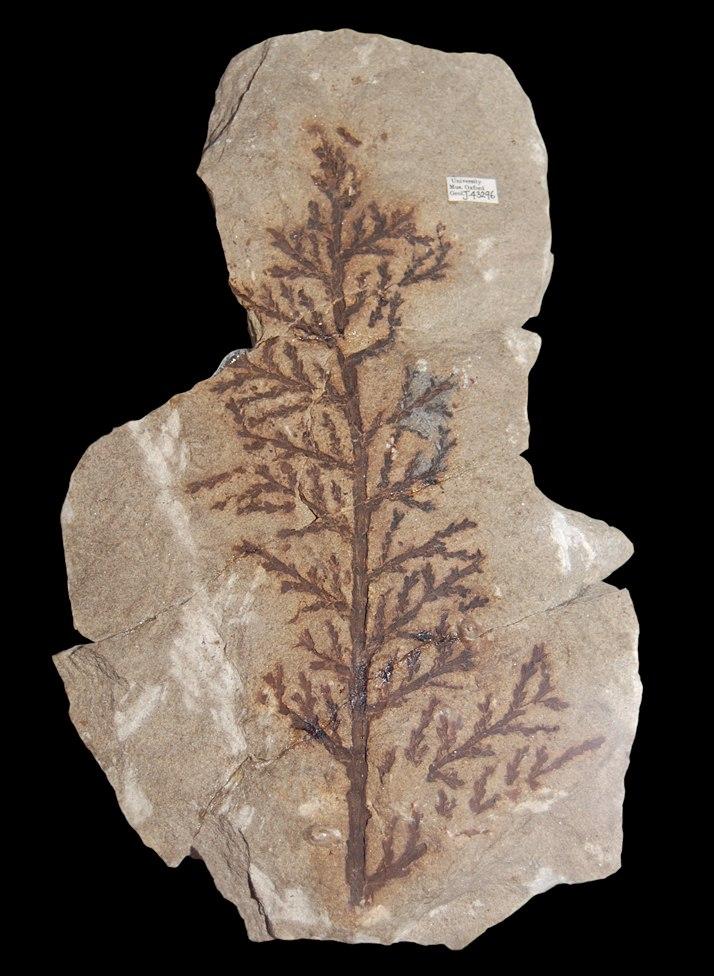 Brachyphyllum (36275546803) (cropped)