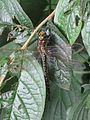 Brachytron pratense (Hairy Dragonfly) female, Arnhem, the Netherlands.jpg