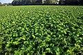Brassica rapa var. rapa (02).jpg