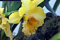 Brassolaeliocattleya malworth 0zz.jpg