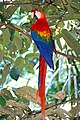 Brazil-00689 - Macaw (48972108248).jpg