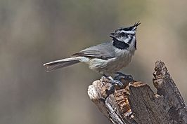 BridledTitmouse.jpg