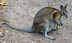 A female bridled nail-tail wallaby with a joey in its pouch at David Fleay Wildlife Park in Burleigh Heads, Queensland, Australia.