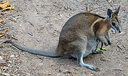 Bridled nailtail wallaby-female-01.JPG