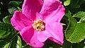 Bright pink flower from the garden.JPG