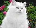 British Longhair Silver Shaded Point Kitten - Belle Ayr Cattery.jpg