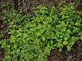 Broad-leaved Button Weed (10023522563).jpg