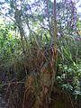 Bromélia em toco de eucalipto.jpg
