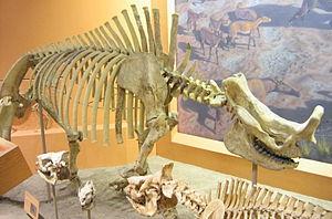 Megacerops - Image: Brontotherium hatcheri