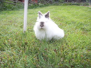 Brown & White Lion Head Rabbit.JPG