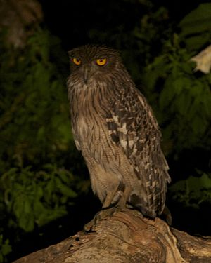 Brown fish owl - A brown fish owl of the nominate race (zeylonensis), which are smaller and darker than other subspecies.